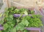 Lukiškių tardymo izoliatoriuje-kalėjime užderėjo derlius
